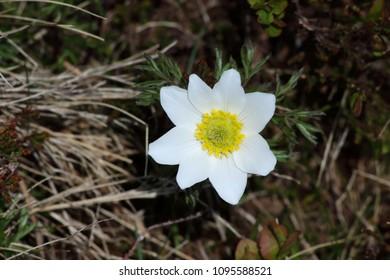 Pulsatilla alpina subsp. austriaca - Alpine White Hornet