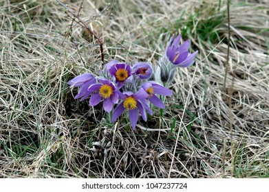 Pulsatilla, Pasqueflower, purple blossoms in early spring
