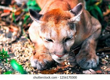 Puma, Belize City Zoo, Belize