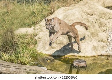 Puma (Puma concolor) jumping off a rock