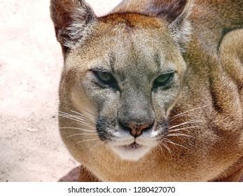 Puma cougar cat in Sacred Valley, Peru