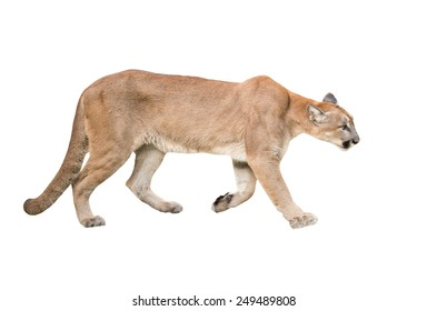 puma or cougar isolated on white background