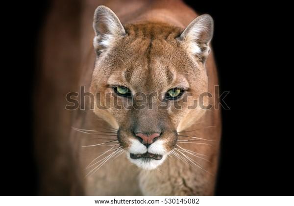 Stockfoto 530145082 Med Puma Puma Isolerat Svart Bakgrund