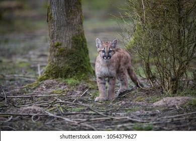 Puma Cub Felina