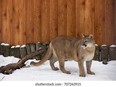 Puma. December.