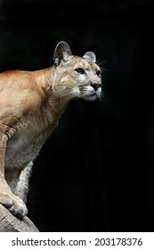 Puma down the trunk of a tree in the forest