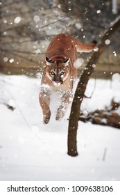 Puma in the jump. Puma in the woods, Mountain Lion, single cat on snow