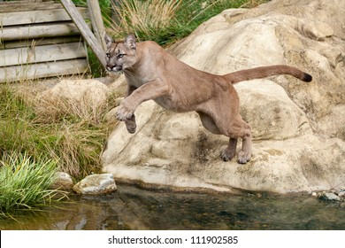 Puma Leaping Off a Rock over Water Felis Concolor