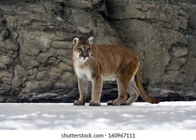 Puma or Mountain lion, Puma concolor, single cat in snow, captive