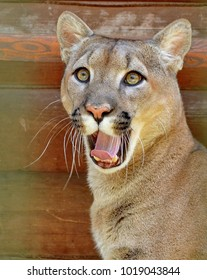 Puma (mountain lion, cougar) (Latin Puma concolor) is a predator of the Puma family of the cat family. It lives in North and South America. It hunts mainly on deer.