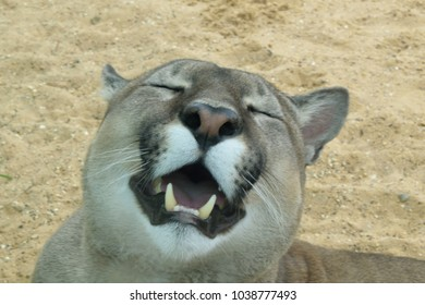 A puma with its mouth open