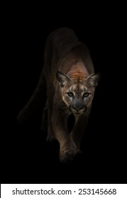 Puma is on the prowl in the dark
