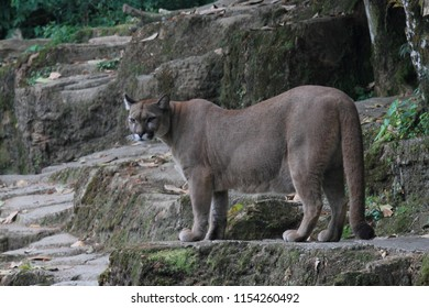 Puma on rock background