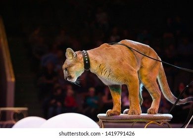 Puma performs in the circus. Puma close-up