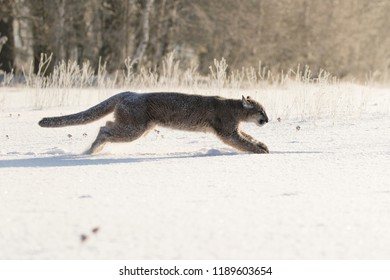 puma running in snow, young puma in action, attractive winter scene with puma