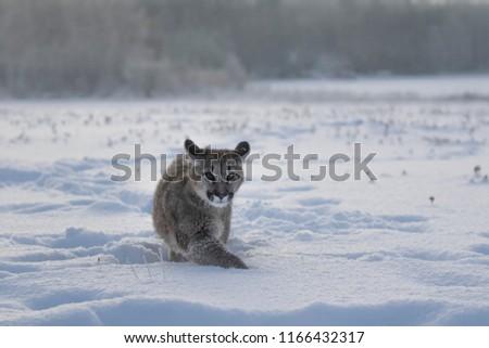 6c11a03552de Puma Snow Young Cougar Walking Snow Stock Photo (Edit Now ...