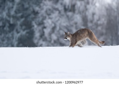 puma in snow, young puma playing in snow, winter scene with beautiful puma