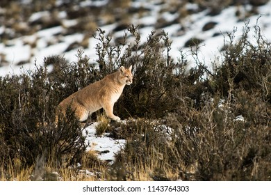 puma walking through the bushes in winter.