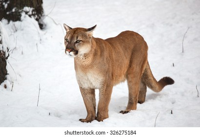Puma in the woods, single cat on snow, wildlife America