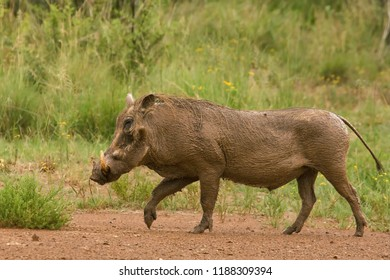 Pumba, the Wild warthog (Phacochoerus africanus or Common warthog) walking in savanna on the red sand. Green grass in background.