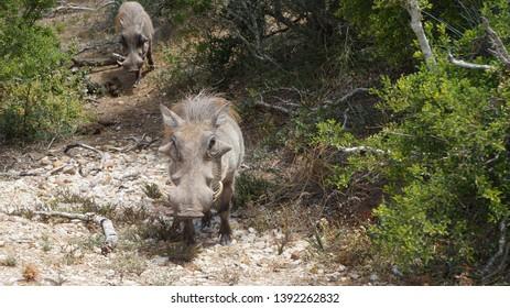 Pumba, the Wild warthog (Phacochoerus africanus or Common warthog) walking in savanna