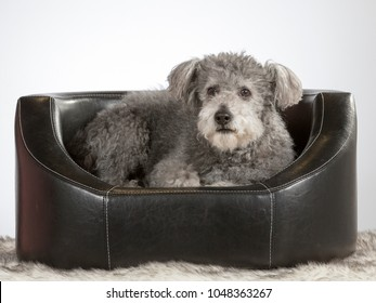 Pumi dog on a black leather sofa. Image taken in a studio with white background.