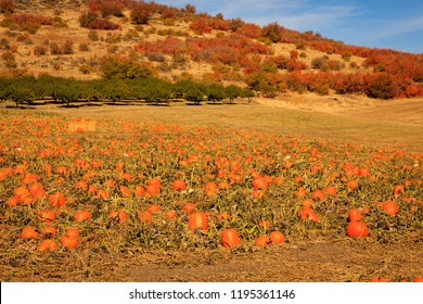 Pumkin patch in rural Oregon, USA.