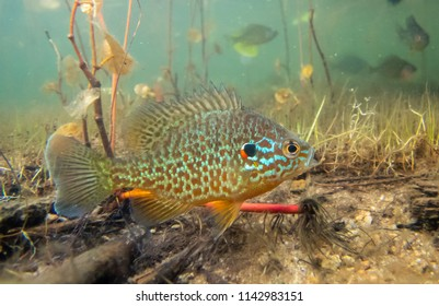 Pumkinseed sunfish guarding its nesting site, shot below water in a lake in north Quebec, Canada.