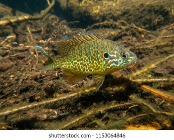 Pumkinseed sunfish guarding its nesting site, shot wild and free below water in a lake in north Quebec, Canada.