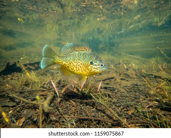 Pumkinseed sunfish guarding its nesting site, this is a wild fish shot below water in a lake in north Quebec, Canada.