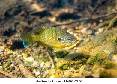 Pumkinseed sunfish swimming wild and free in a lake in north Quebec Canada,