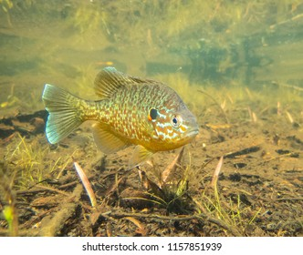 Pumkinseed sunfish swimming wild guarding its spawning site in a lake in north Quebec Canada.