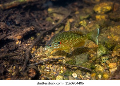 Pumkinseed sunfish swimming wild guarding its nest in a lac in north Quebec Canada.