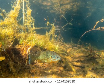 Pumkinseed sunfish swimming wild in a lake in north Quebec Canada.