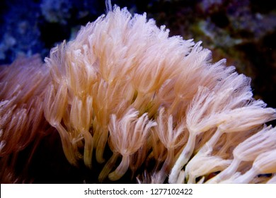 Pumping Xenia Pink Coral in Saltwater Aquarium