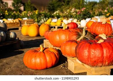 Pumpkin in autumn Sun