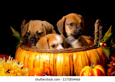Pumpkin Basket Is Filled with Two Puggle Puppies and a Beaglier Puppy Peeking out the side in front of a Black Background for Halloween