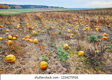Pumpkin field in autumn. This pumpkin type is used for Halloween decoration, pressing seeds oil and for cooking.