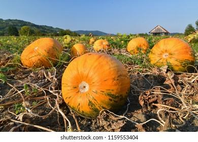 Pumpkin field with big orange ripe pumpkins on a bright sunny day