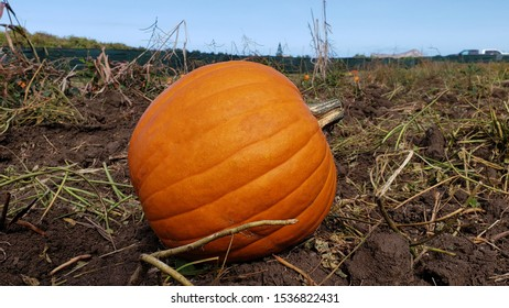 A pumpkin in a field in Hawaii. A perfect image for Fall.