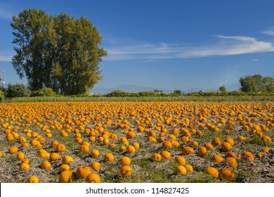 Pumpkin field on a bright autumn day