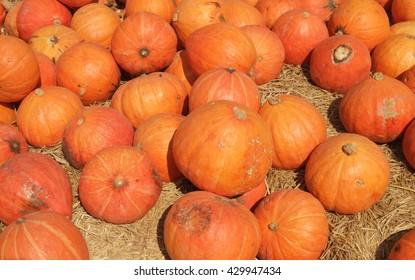 Pumpkin field on a bright autumn day, fall harvesting in farm