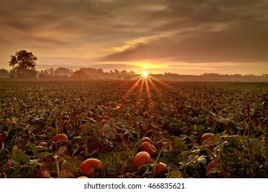 Pumpkin Field Sunrise