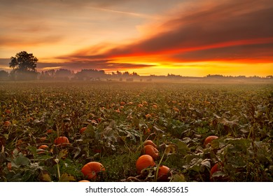 Pumpkin Filed Dawn