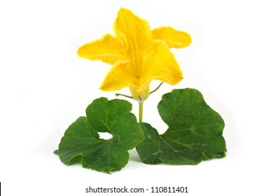 Pumpkin flower and leaves isolated on white