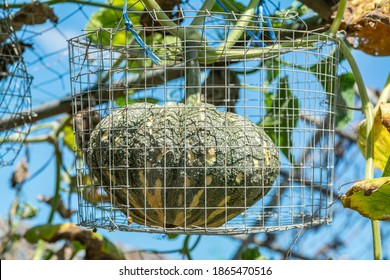 Pumpkin fruit with wire mesh to support and prevent fruit from falling to the ground and hanging on metal beams in the vegetable garden