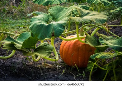Pumpkin in green leaves