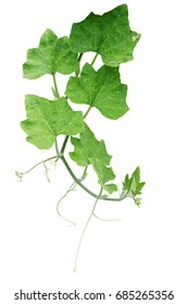 Pumpkin green leaves with hairy vine plant stem and tendrils isolated on white background, clipping path included.