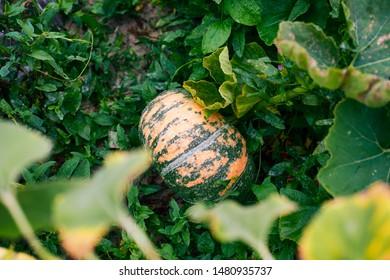 Pumpkin growing in the garden bed after rain. Close-up.