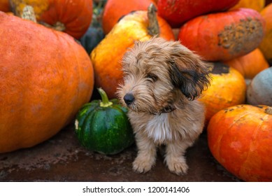 Pumpkin harvest in autumn or fall. Cute, wet puppy is sitting in trailer and guarding pumpkins during rain storm and bad weather. Beautiful, colorful autumn background